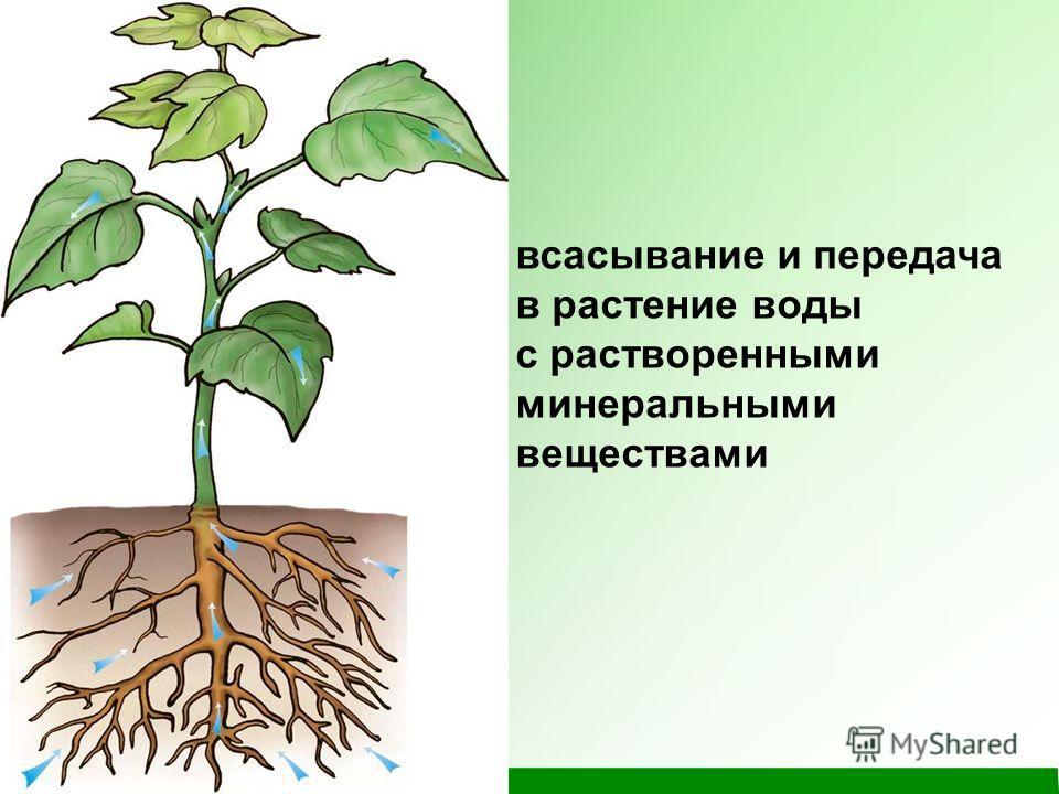 всасывание и передача в растение воды с растворенными минеральными веществами