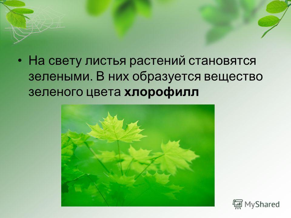 На свету листья растений становятся зелеными. В них образуется вещество зеленого цвета хлорофилл