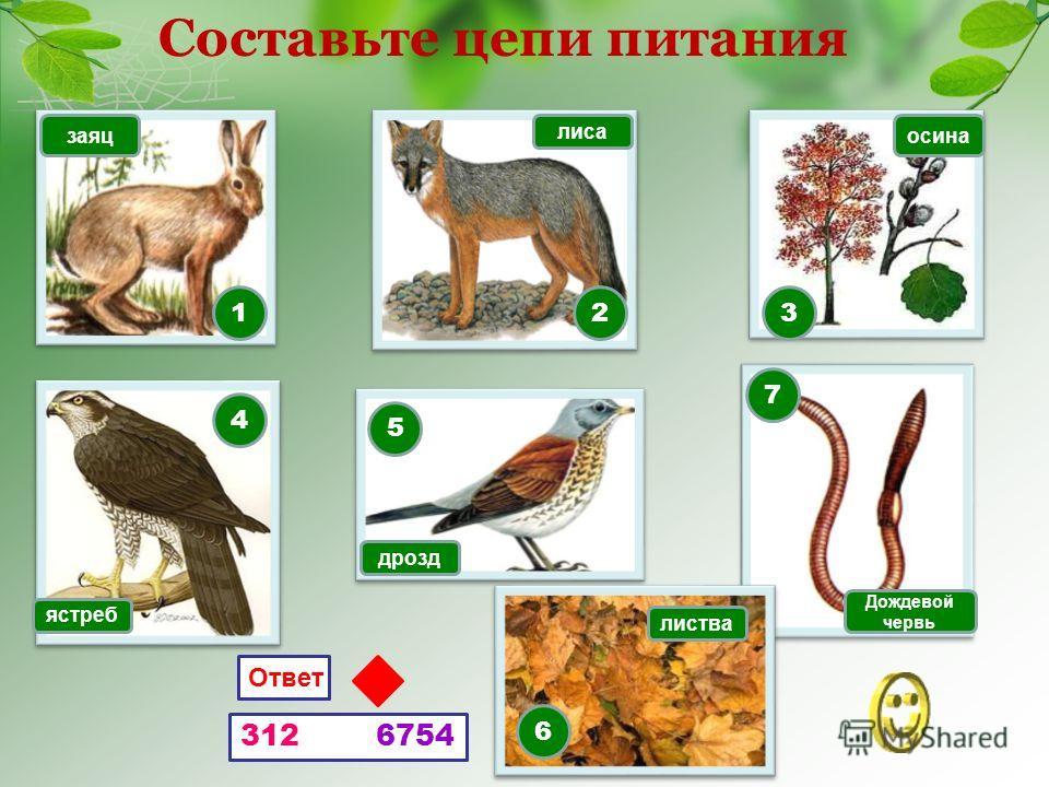 Составьте цепи питания 132 7 5 4 6 Ответ 312 6754 заяц лиса осина ястреб дрозд листва Дождевой червь