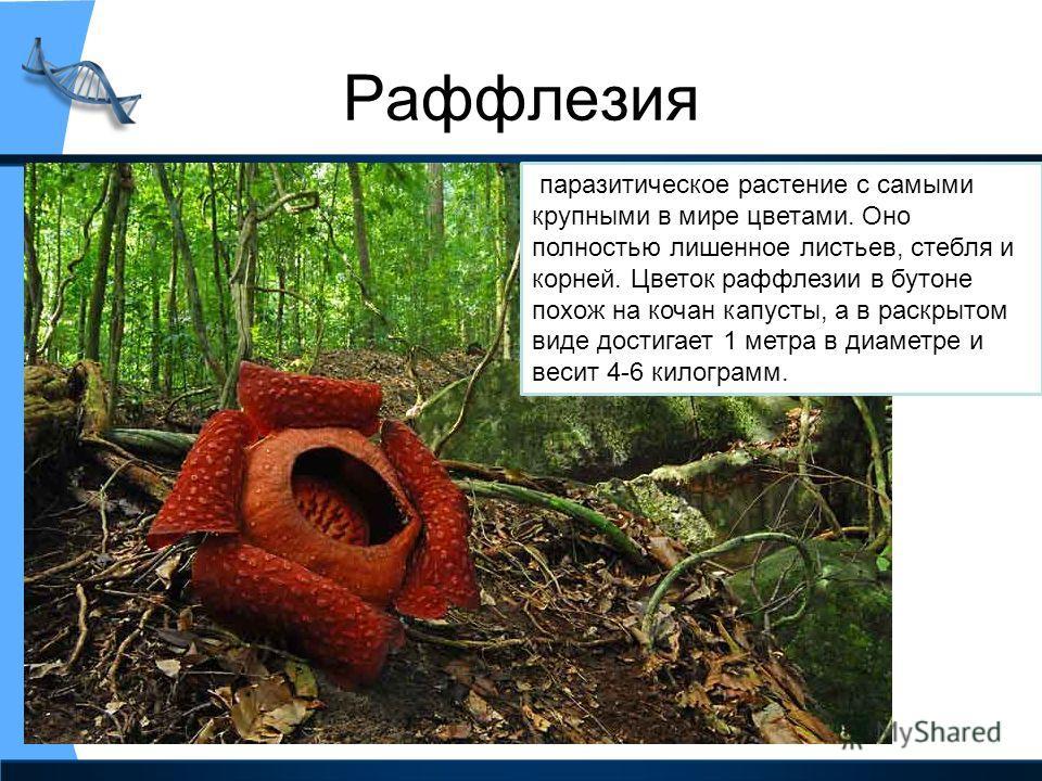 Раффлезия паразитическое растение с самыми крупными в мире цветами. Оно полностью лишенное листьев, стебля и корней. Цветок раффлезии в бутоне похож на кочан капусты, а в раскрытом виде достигает 1 метра в диаметре и весит 4-6 килограмм.