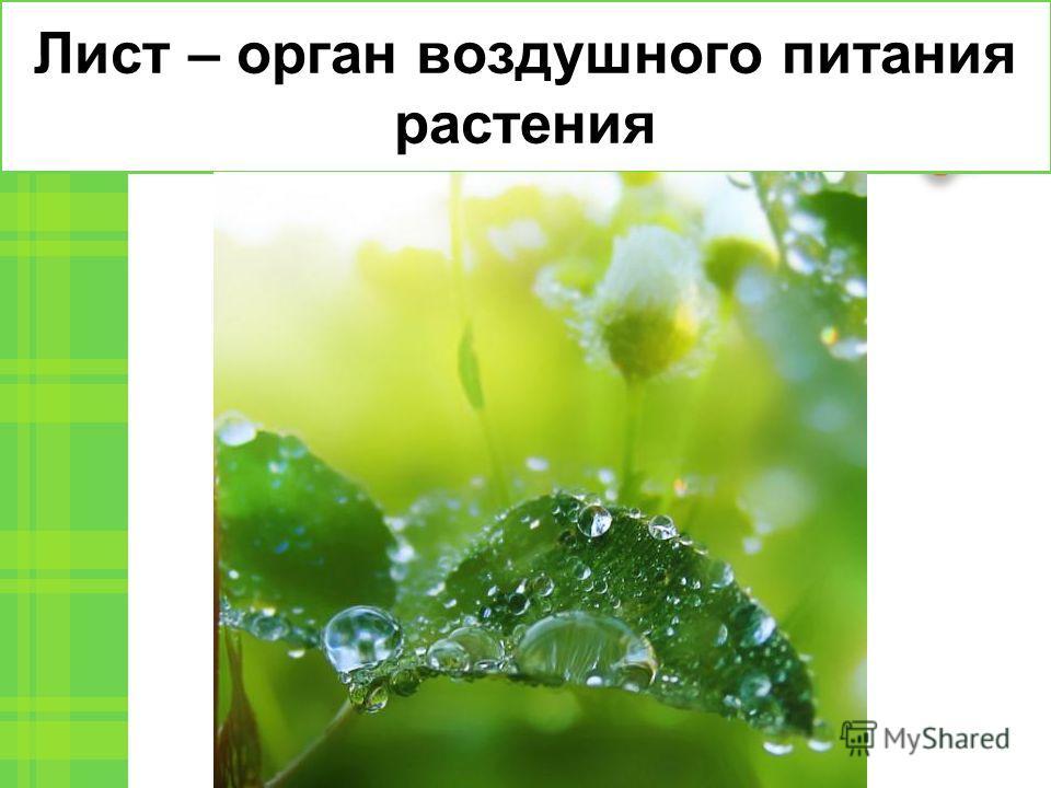 Лист – орган воздушного питания растения