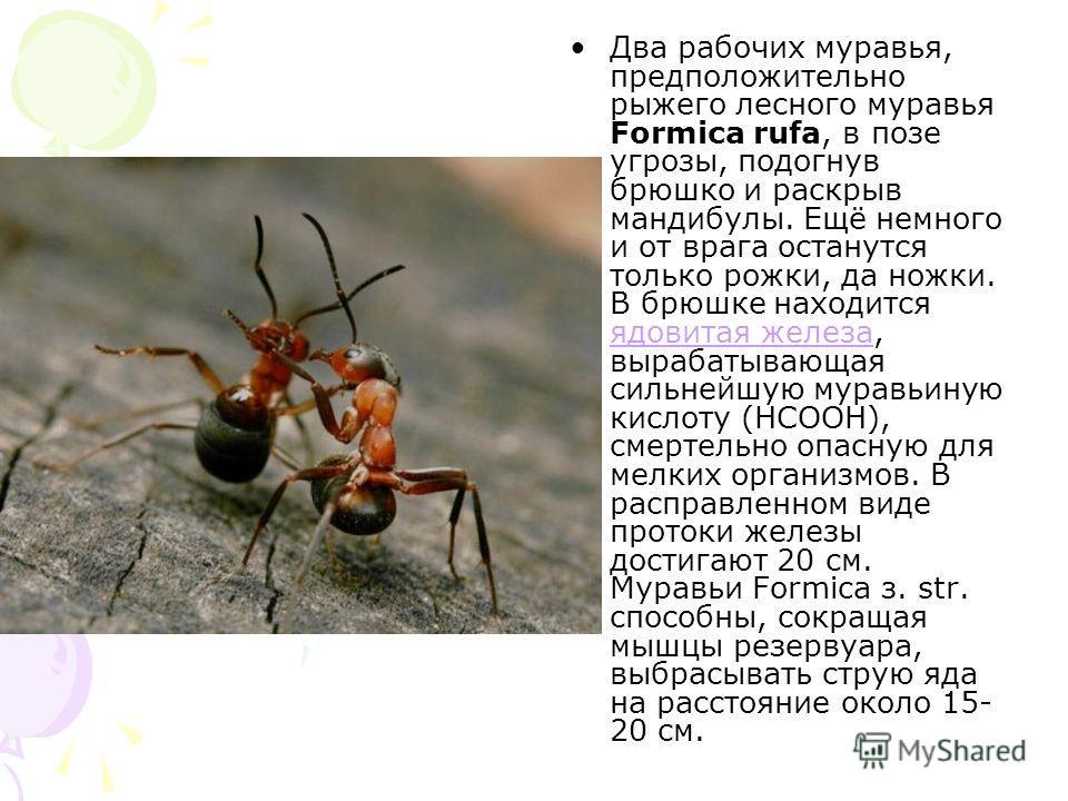 Два рабочих муравья, предположительно рыжего лесного муравья Formica rufa, в позе угрозы, подогнув брюшко и раскрыв мандибулы. Ещё немного и от врага останутся только рожки, да ножки. В брюшке находится ядовитая железа, вырабатывающая сильнейшую мура
