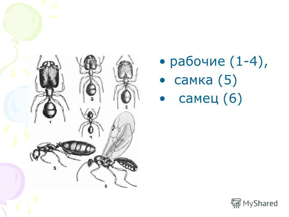рабочие (1-4), самка (5) самец (6)