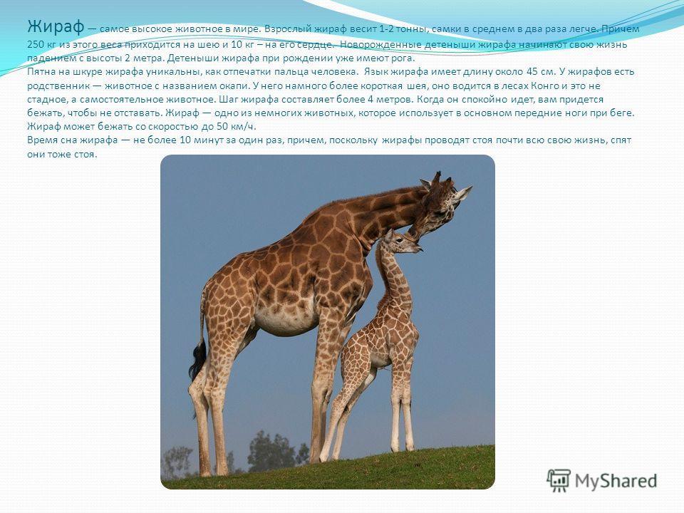 Жираф самое высокое животное в мире. Взрослый жираф весит 1-2 тонны, самки в среднем в два раза легче. Причем 250 кг из этого веса приходится на шею и 10 кг – на его сердце. Новорожденные детеныши жирафа начинают свою жизнь падением с высоты 2 метра.