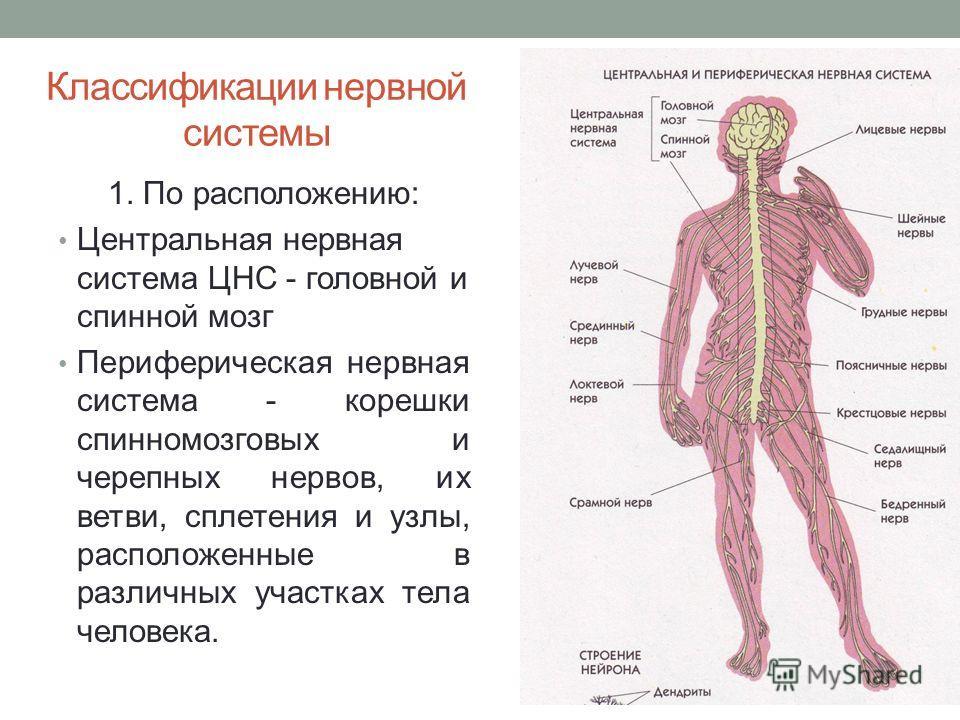 Классификации нервной системы 1. По расположению: Центральная нервная система ЦНС - головной и спинной мозг Периферическая нервная система - корешки спинномозговых и черепных нервов, их ветви, сплетения и узлы, расположенные в различных участках тела