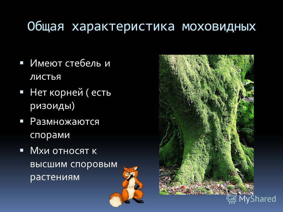 Общая характеристика моховидных Имеют стебель и листья Нет корней ( есть ризоиды) Размножаются спорами Мхи относят к высшим споровым растениям