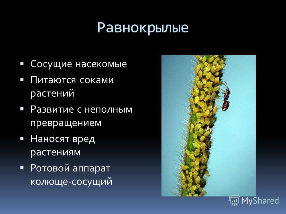 Равнокрылые Сосущие насекомые Питаются соками растений Развитие с неполным превращением Наносят вред растениям Ротовой аппарат колюще-сосущий