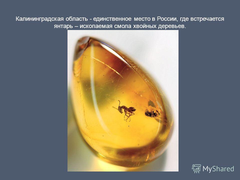 Калининградская область - единственное место в России, где встречается янтарь – ископаемая смола хвойных деревьев.