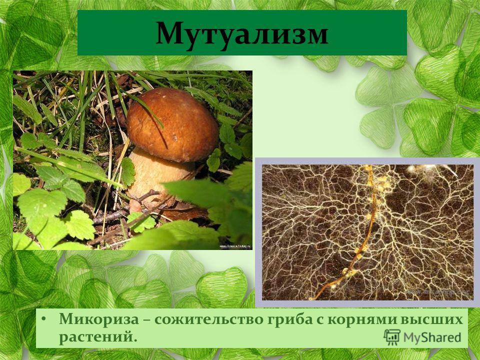 Микориза – сожительство гриба с корнями высших растений. Мутуализм