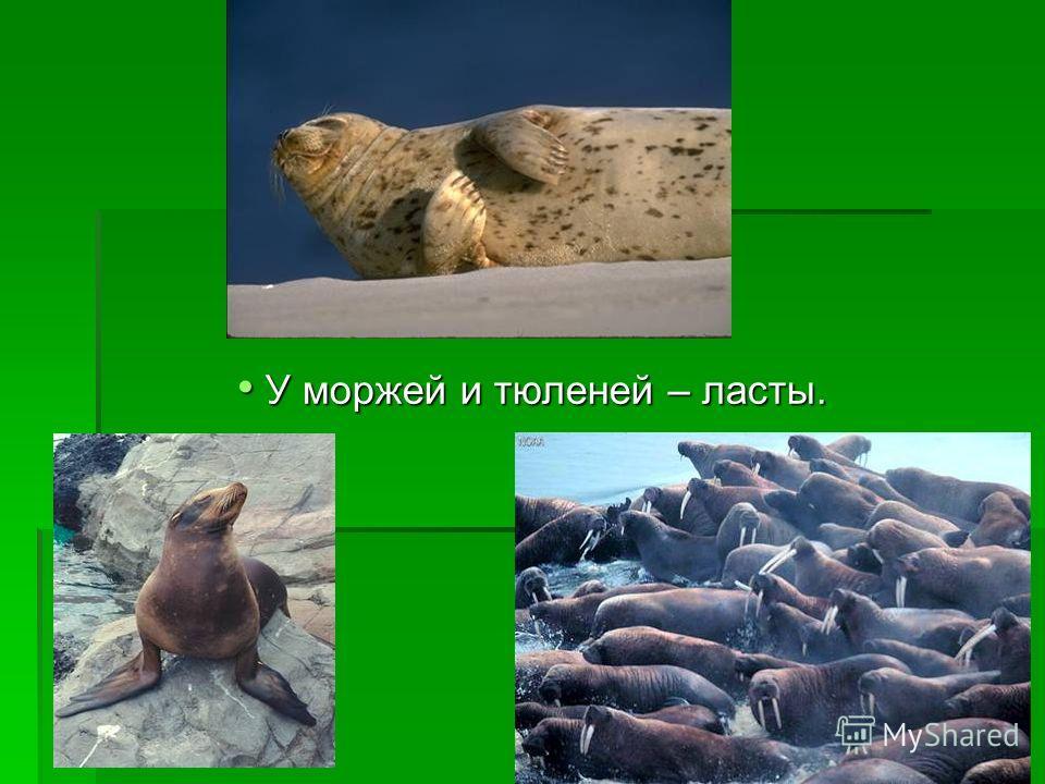 У моржей и тюленей – ласты. У моржей и тюленей – ласты.
