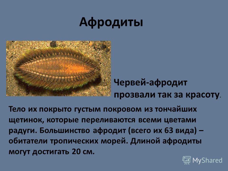 Тело их покрыто густым покровом из тончайших щетинок, которые переливаются всеми цветами радуги. Большинство афродит (всего их 63 вида) – обитатели тропических морей. Длиной афродиты могут достигать 20 см. Афродиты Червей-афродит прозвали так за крас