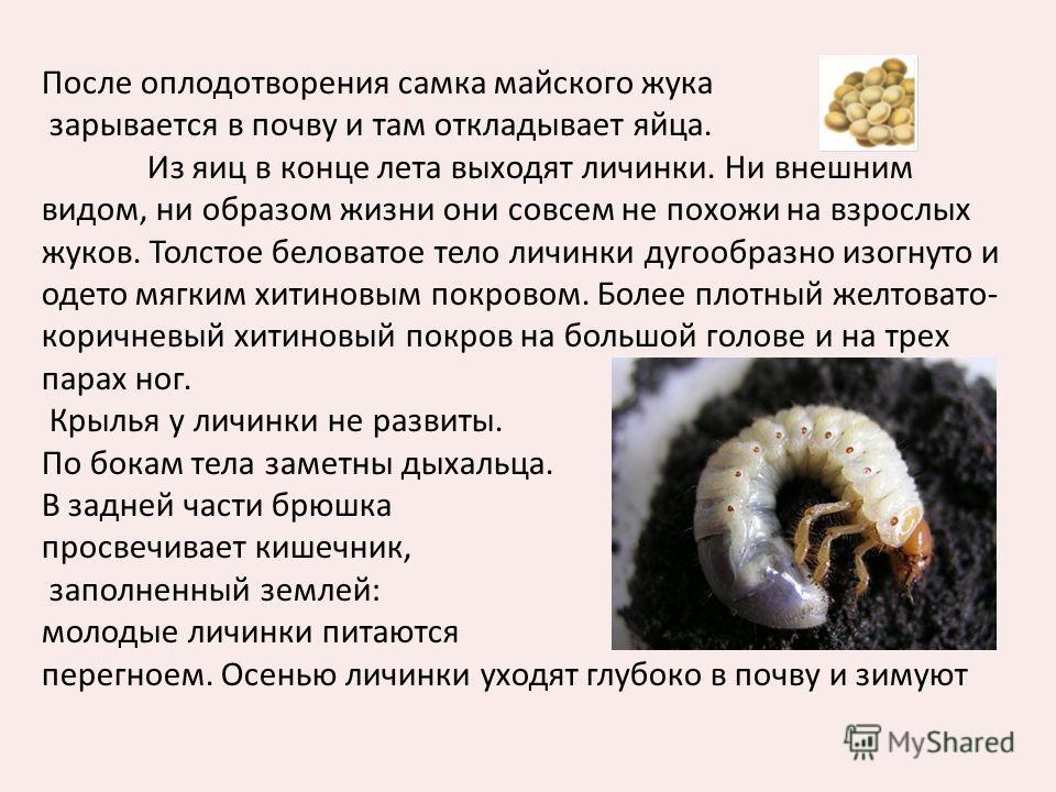 После оплодотворения самка майского жука зарывается в почву и там откладывает яйца. Из яиц в конце лета выходят личинки. Ни внешним видом, ни образом жизни они совсем не похожи на взрослых жуков. Толстое беловатое тело личинки дугообразно изогнуто и