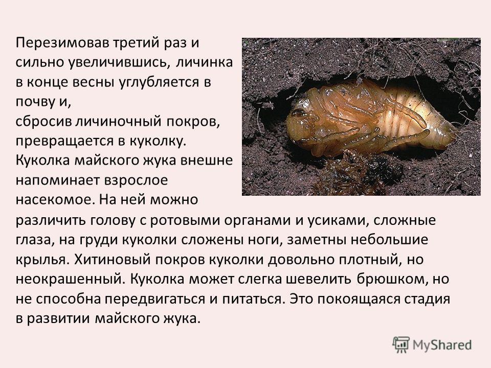 Перезимовав третий раз и сильно увеличившись, личинка в конце весны углубляется в почву и, сбросив личиночный покров, превращается в куколку. Куколка майского жука внешне напоминает взрослое насекомое. На ней можно различить голову с ротовыми органам