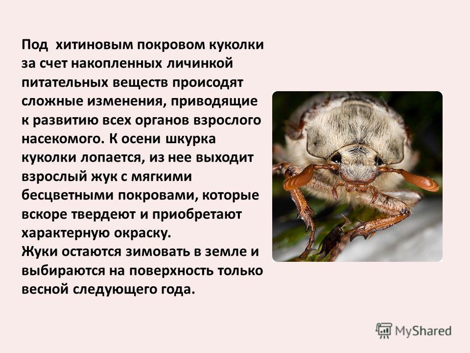 Под хитиновым покровом куколки за счет накопленных личинкой питательных веществ происодят сложные изменения, приводящие к развитию всех органов взрослого насекомого. К осени шкурка куколки лопается, из нее выходит взрослый жук с мягкими бесцветными п