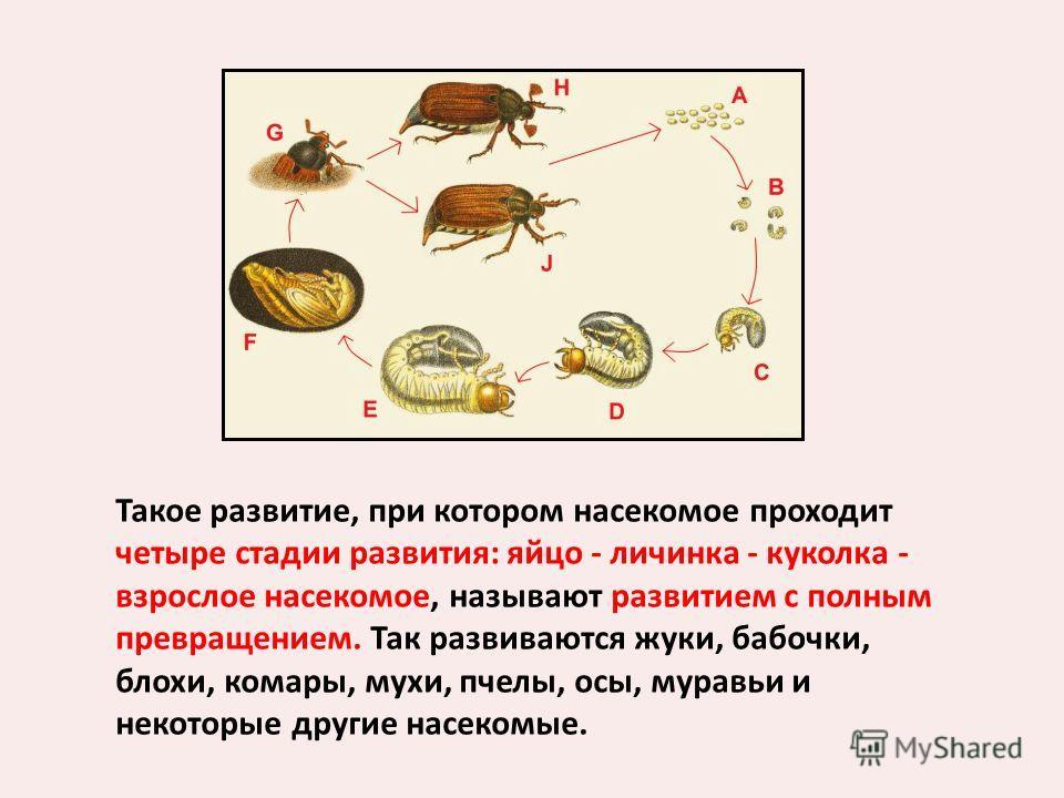 Такое развитие, при котором насекомое проходит четыре стадии развития: яйцо - личинка - куколка - взрослое насекомое, называют развитием с полным превращением. Так развиваются жуки, бабочки, блохи, комары, мухи, пчелы, осы, муравьи и некоторые другие