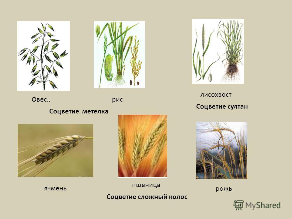 Овес..рис Соцветие метелка рожь пшеница ячмень Соцветие сложный колос лисохвост Соцветие султан