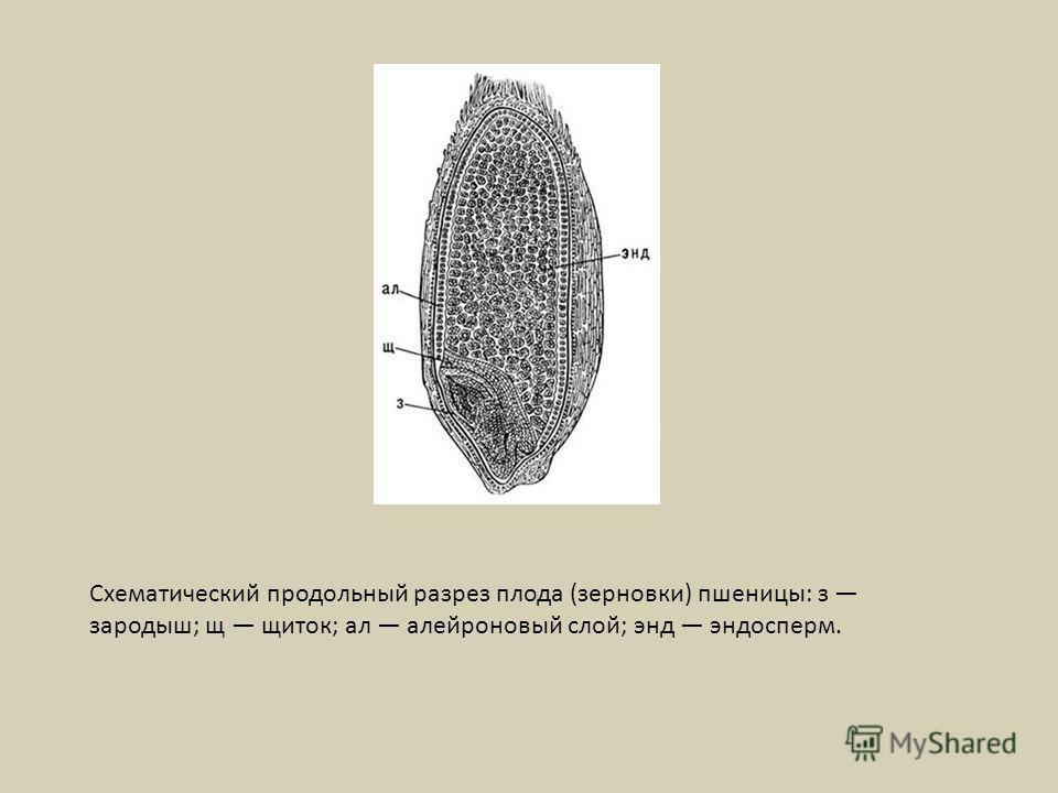 Схематический продольный разрез плода (зерновки) пшеницы: з зародыш; щ щиток; ал алейроновый слой; энд эндосперм.