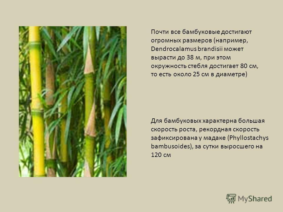 Почти все бамбуковые достигают огромных размеров (например, Dendrocalamus brandisii может вырасти до 38 м, при этом окружность стебля достигает 80 см, то есть около 25 см в диаметре) Для бамбуковых характерна большая скорость роста, рекордная скорост