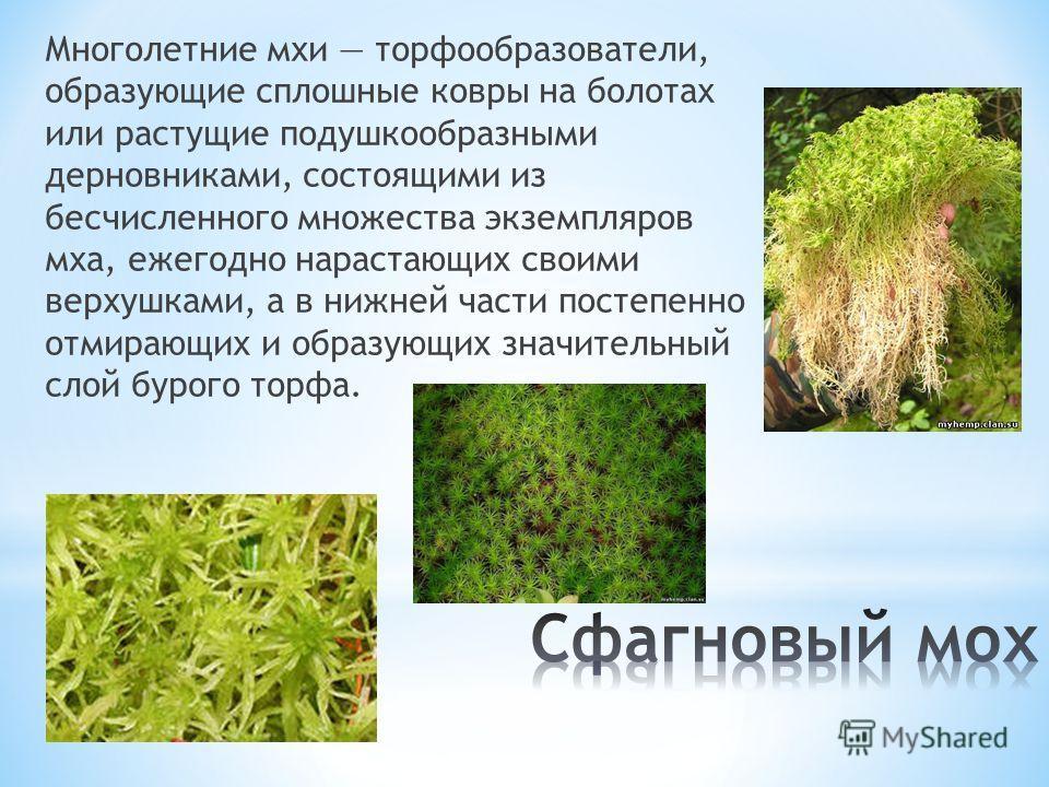 Многолетние мхи торфообразователи, образующие сплошные ковры на болотах или растущие подушкообразными дерновниками, состоящими из бесчисленного множества экземпляров мха, ежегодно нарастающих своими верхушками, а в нижней части постепенно отмирающих