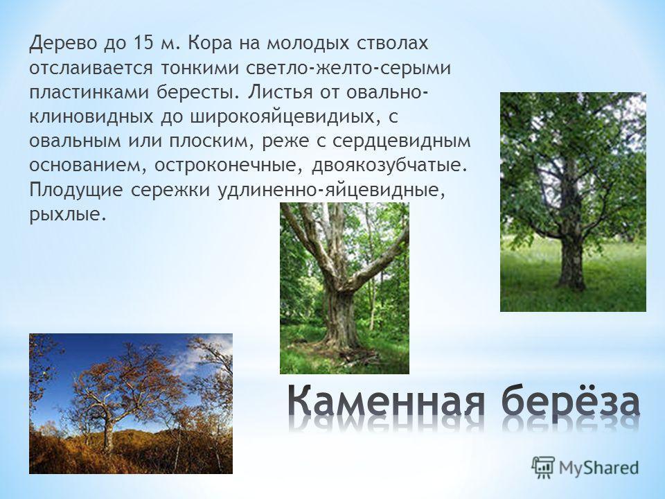 Дерево до 15 м. Кора на молодых стволах отслаивается тонкими светло-желто-серыми пластинками бересты. Листья от овально- клиновидных до широкояйцевидиых, с овальным или плоским, реже с сердцевидным основанием, остроконечные, двоякозубчатые. Плодущие
