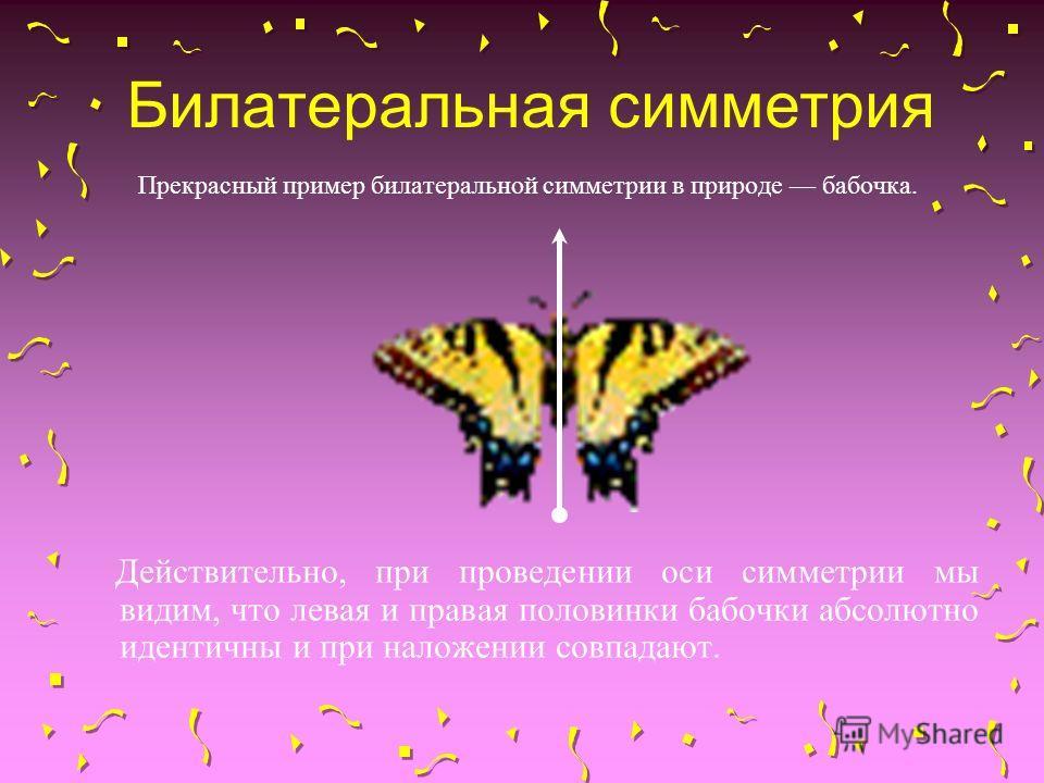 Билатеральная симметрия Прекрасный пример билатеральной симметрии в природе бабочка. Действительно, при проведении оси симметрии мы видим, что левая и правая половинки бабочки абсолютно идентичны и при наложении совпадают.