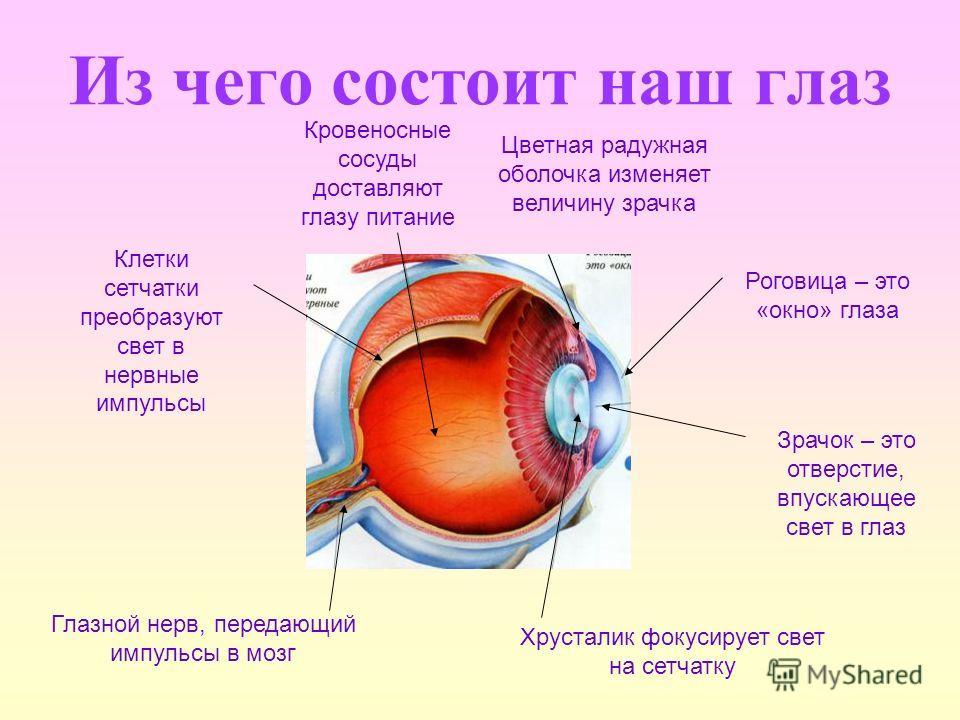 Из чего состоит наш глаз Глазной нерв, передающий импульсы в мозг Хрусталик фокусирует свет на сетчатку Клетки сетчатки преобразуют свет в нервные импульсы Кровеносные сосуды доставляют глазу питание Цветная радужная оболочка изменяет величину зрачка