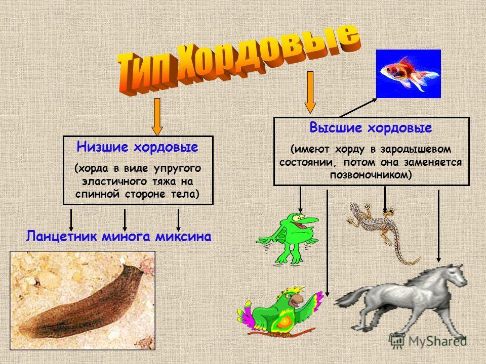 Низшие хордовые (хорда в виде упругого эластичного тяжа на спинной стороне тела) Высшие хордовые (имеют хорду в зародышевом состоянии, потом она заменяется позвоночником) Ланцетник минога миксина