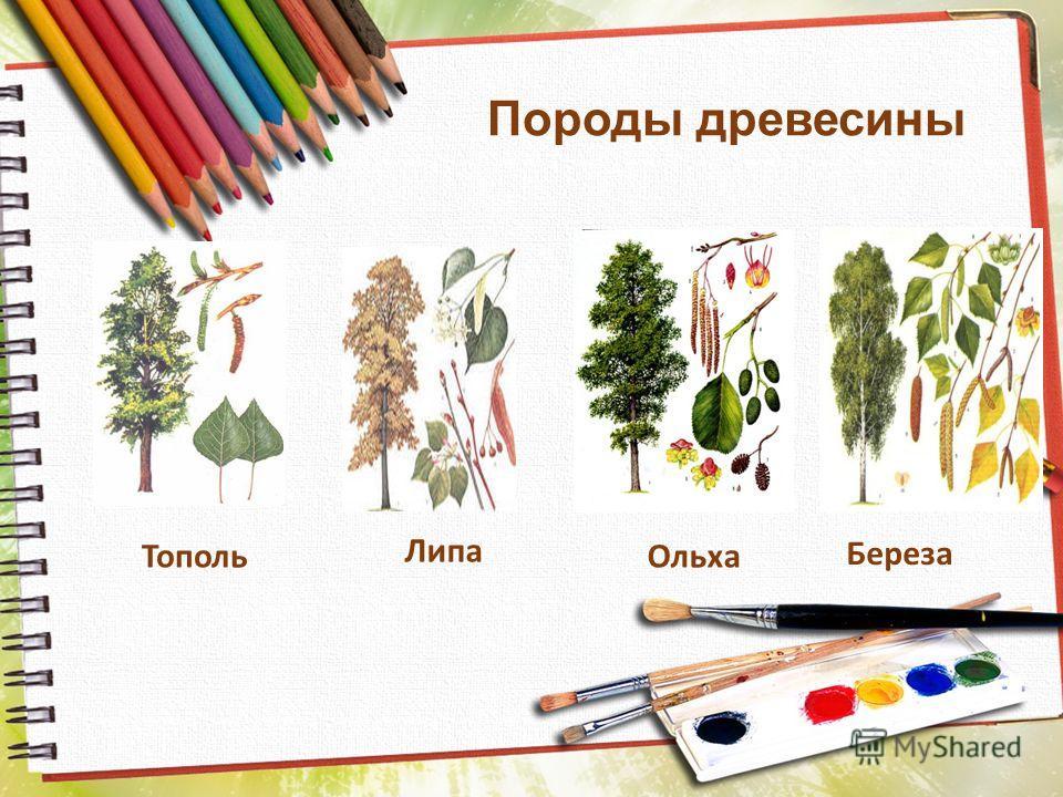 Породы древесины ТопольОльха Липа Береза