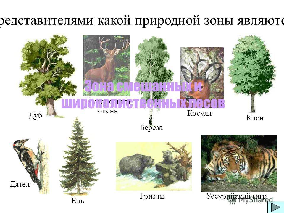 Представителями какой природной зоны являются: Дуб Клен Косуля Благородный олень Дятел Уссурийский тигрГризли Ель Береза Зона смешанных и широколиственных лесов