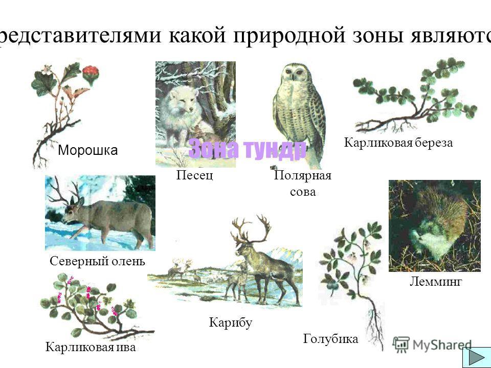 Морошка Карликовая береза Карликовая ива Голубика Представителями какой природной зоны являются: Карибу Песец Лемминг Полярная сова Северный олень Зона тундр