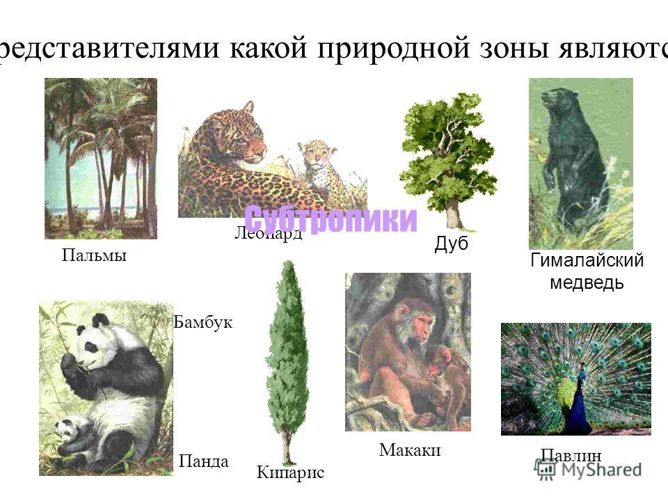 Представителями какой природной зоны являются: Леопард Макаки Панда Дуб Кипарис Бамбук Гималайский медведь Субтропики Павлин Пальмы