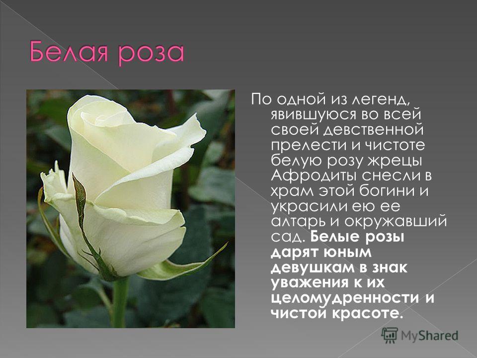 По одной из легенд, явившуюся во всей своей девственной прелести и чистоте белую розу жрецы Афродиты снесли в храм этой богини и украсили ею ее алтарь и окружавший сад. Белые розы дарят юным девушкам в знак уважения к их целомудренности и чистой крас