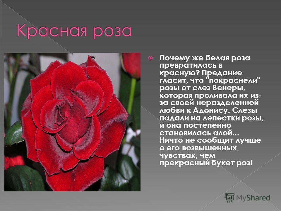 Почему же белая роза превратилась в красную? Предание гласит, что