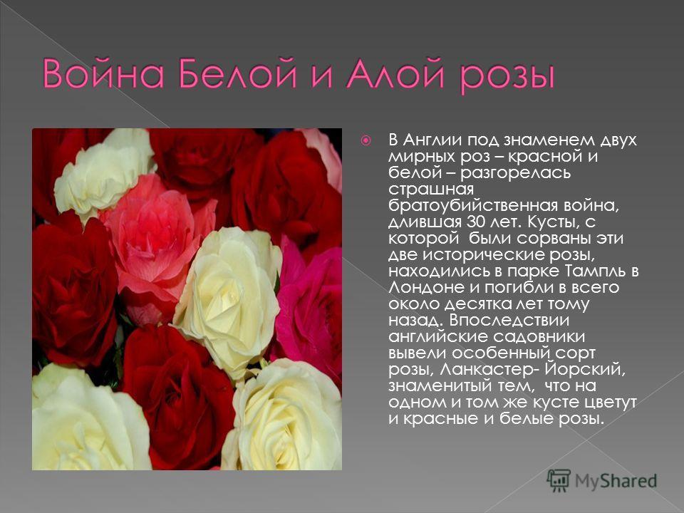 В Англии под знаменем двух мирных роз – красной и белой – разгорелась страшная братоубийственная война, длившая 30 лет. Кусты, с которой были сорваны эти две исторические розы, находились в парке Тампль в Лондоне и погибли в всего около десятка лет т