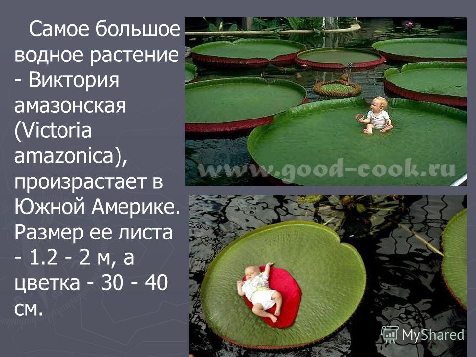 Самое большое водное растение - Виктория амазонская (Victoria amazonica), произрастает в Южной Америке. Размер ее листа - 1.2 - 2 м, а цветка - 30 - 40 см.