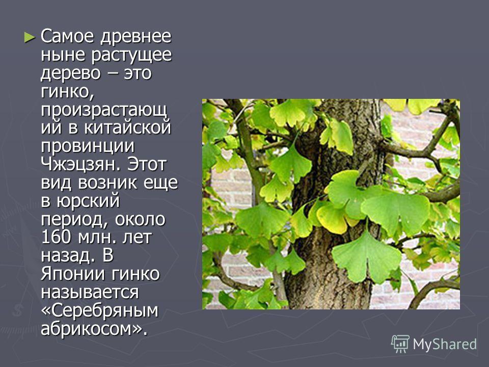 Самое древнее ныне растущее дерево – это гинко, произрастающ ий в китайской провинции Чжэцзян. Этот вид возник еще в юрский период, около 160 млн. лет назад. В Японии гинко называется «Серебряным абрикосом». Самое древнее ныне растущее дерево – это г