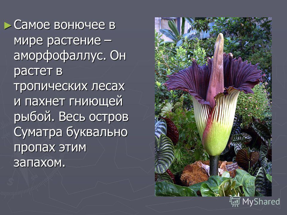 Самое вонючее в мире растение – аморфофаллус. Он растет в тропических лесах и пахнет гниющей рыбой. Весь остров Суматра буквально пропах этим запахом. Самое вонючее в мире растение – аморфофаллус. Он растет в тропических лесах и пахнет гниющей рыбой.