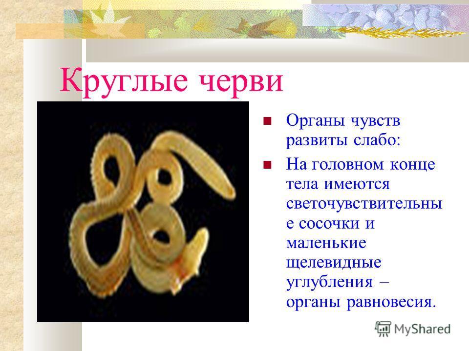 Круглые черви Органы чувств развиты слабо: На головном конце тела имеются светочувствительны е сосочки и маленькие щелевидные углубления – органы равновесия.