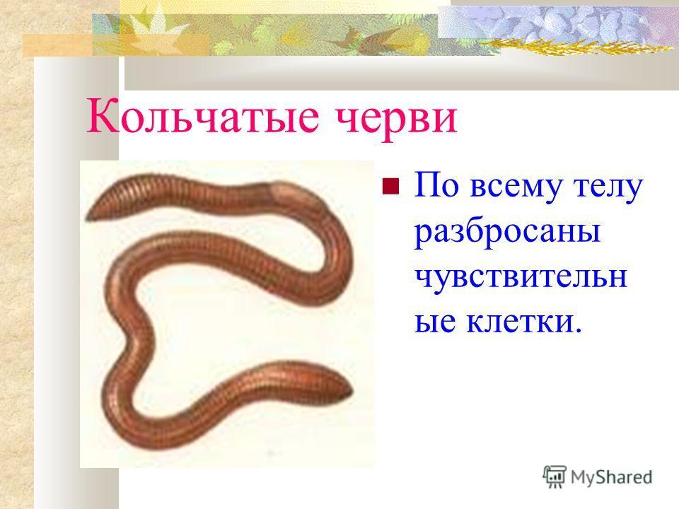 Кольчатые черви По всему телу разбросаны чувствительн ые клетки.