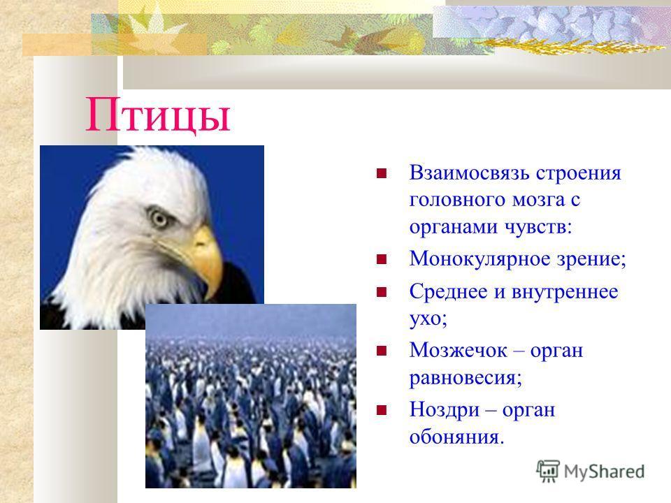 Птицы Взаимосвязь строения головного мозга с органами чувств: Монокулярное зрение; Среднее и внутреннее ухо; Мозжечок – орган равновесия; Ноздри – орган обоняния.