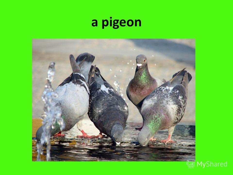 a pigeon