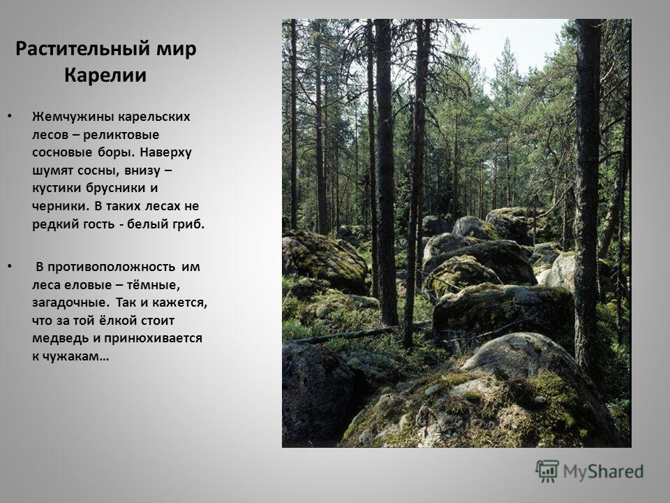 Растительный мир Карелии Жемчужины карельских лесов – реликтовые сосновые боры. Наверху шумят сосны, внизу – кустики брусники и черники. В таких лесах не редкий гость - белый гриб. В противоположность им леса еловые – тёмные, загадочные. Так и кажетс