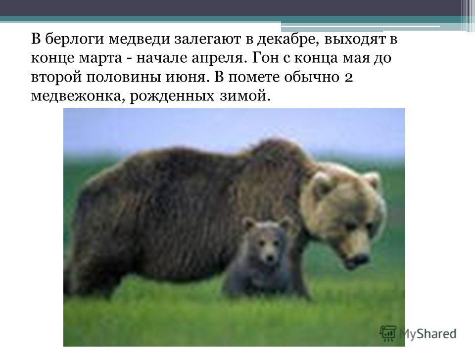 В берлоги медведи залегают в декабре, выходят в конце марта - начале апреля. Гон с конца мая до второй половины июня. В помете обычно 2 медвежонка, рожденных зимой.