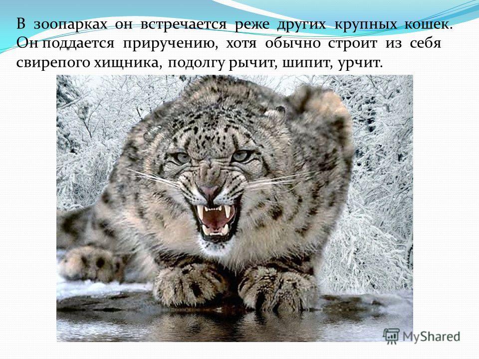 В зоопарках он встречается реже других крупных кошек. Он поддается приручению, хотя обычно строит из себя свирепого хищника, подолгу рычит, шипит, урчит.