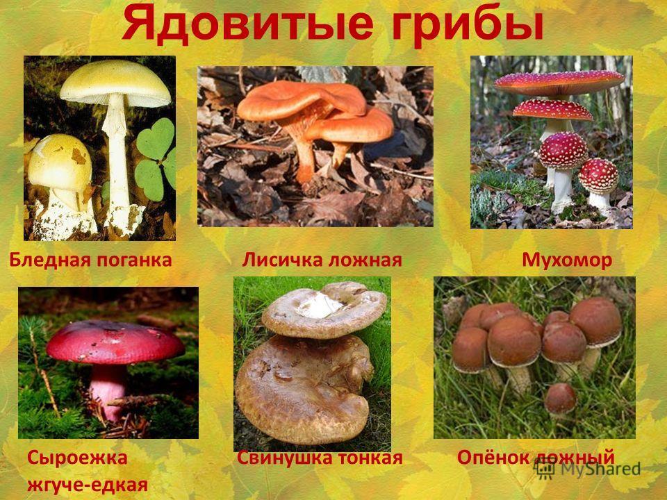 Ядовитые грибы Бледная поганка Лисичка ложная Мухомор Сыроежка Свинушка тонкая Опёнок ложный жгуче-едкая