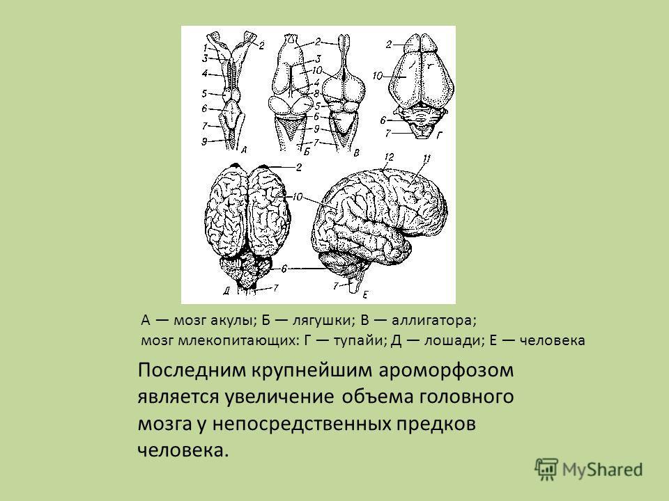 Последним крупнейшим ароморфозом является увеличение объема головного мозга у непосредственных предков человека. А мозг акулы; Б лягушки; В аллигатора; мозг млекопитающих: Г тупайи; Д лошади; Е человека