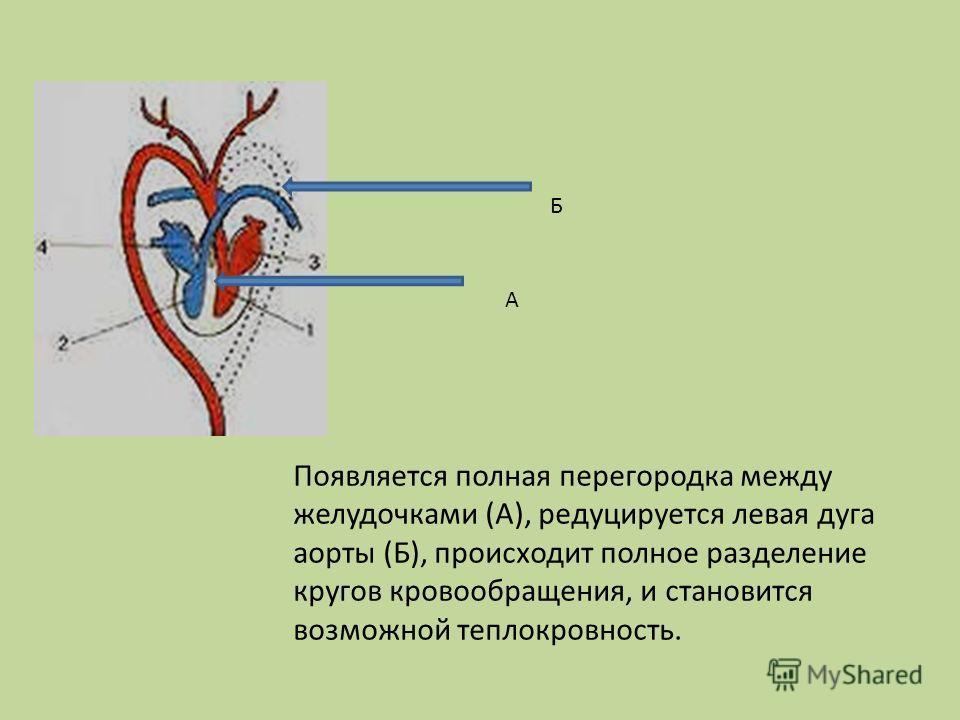 Появляется полная перегородка между желудочками (А), редуцируется левая дуга аорты (Б), происходит полное разделение кругов кровообращения, и становится возможной теплокровность. А Б