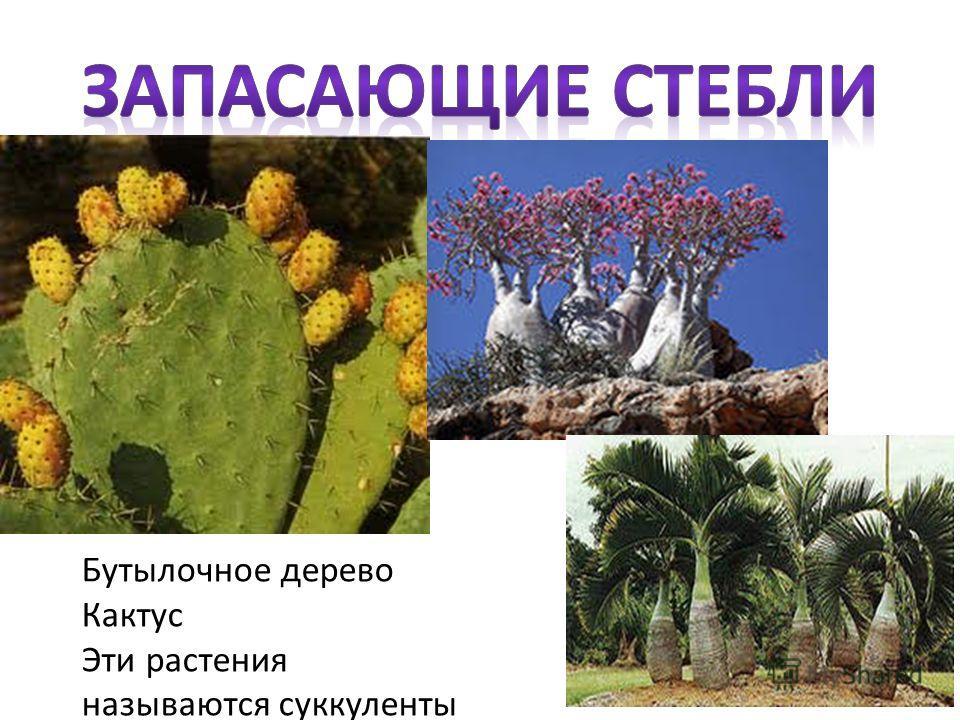 Бутылочное дерево Кактус Эти растения называются суккуленты