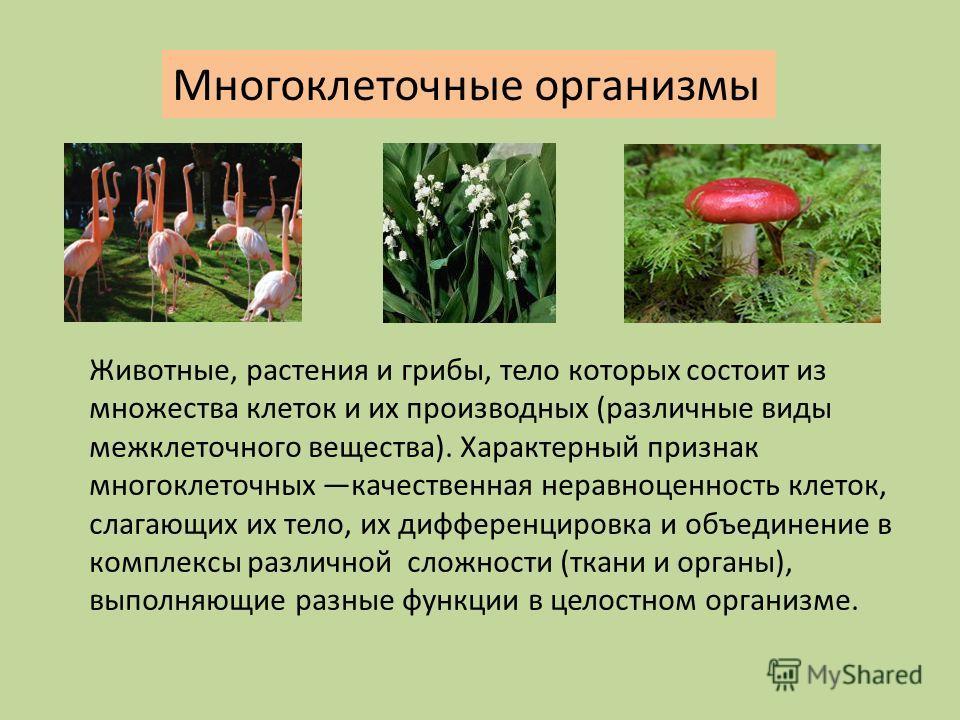 Многоклеточные организмы Животные, растения и грибы, тело которых состоит из множества клеток и их производных (различные виды межклеточного вещества). Характерный признак многоклеточных качественная неравноценность клеток, слагающих их тело, их дифф
