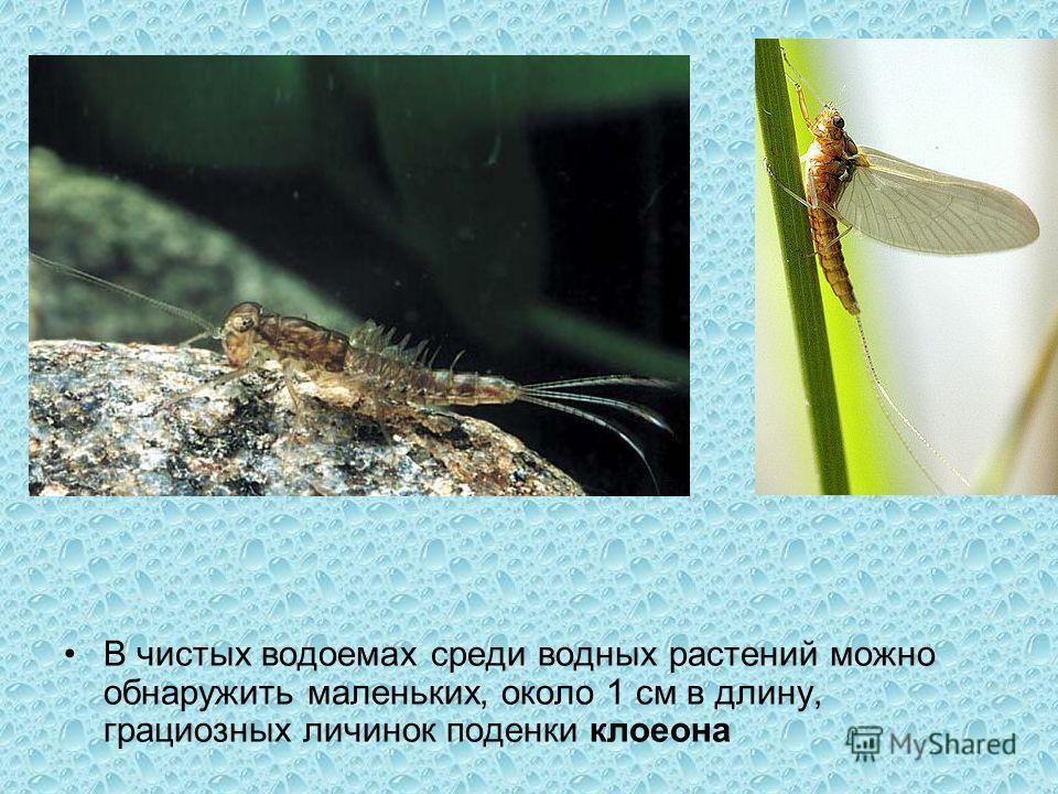 В чистых водоемах среди водных растений можно обнаружить маленьких, около 1 см в длину, грациозных личинок поденки клоеона